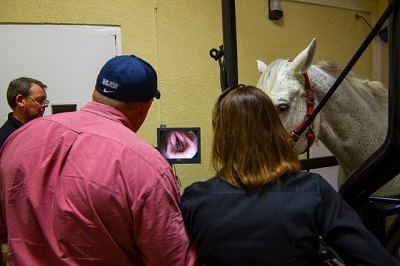 PBEC veterinarians evaluate a horse using a scope.  Photo courtesy of PBEC
